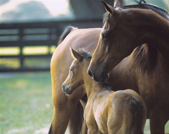 Колко време след ожребване кобилата може да се върне към езда?
